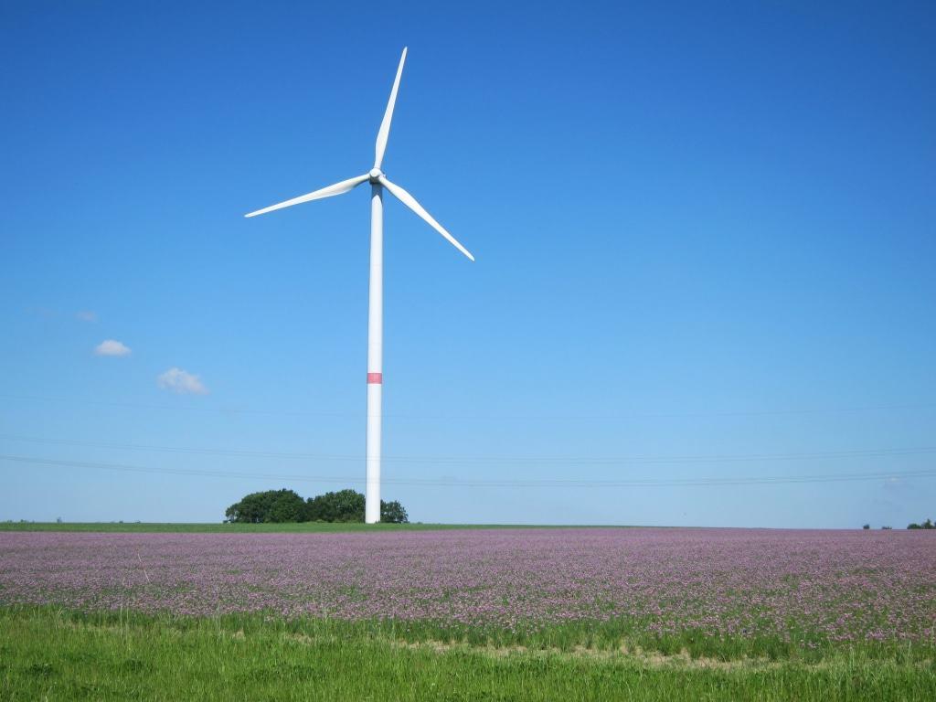 Nein, nicht die Heide blüht im Wendland, sondern der Schnittlauch. Feld bei Beesem.