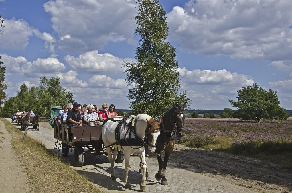 Kutschfahrt durch die blühende Heide. Foto: Naturpark Lüneburger Heide
