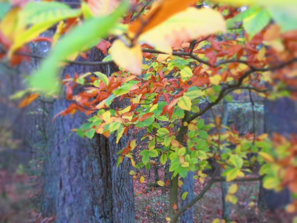 Herbstverfärbung des Buchenlaubes in der Lüneburger Heide