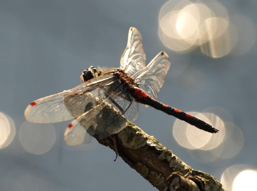 Pietzmoor in Schneverdingen - Libelle