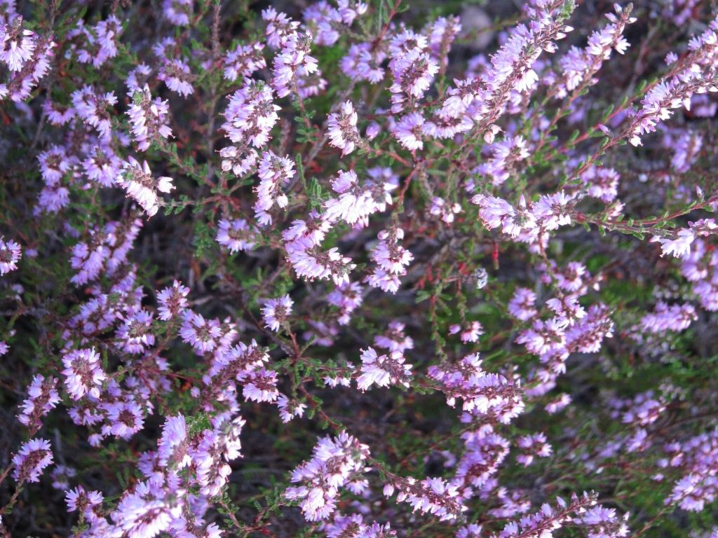 Zahllose Einzelblüten bilden den Blütenstand der Besenheide, eines immergrünen Zwergstrauchs
