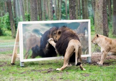 Löwenmännchen betrachtet sich im Spiegel, Foto Serengeti Park Hodenhagen 2015