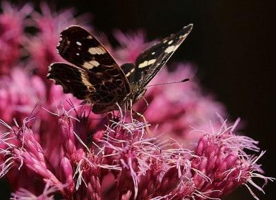 Foto Schmetterling von Wolfgang Böning