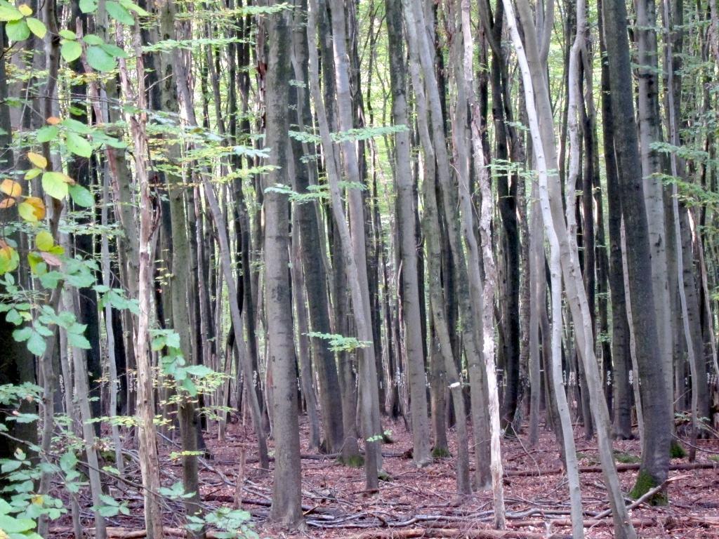Junger Baumbestand vor der Durchforstung im Lüßwald.