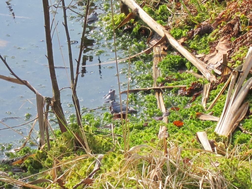 Moorfrösche zur Paarungszeit im Pietzmoor in Schneverdingen