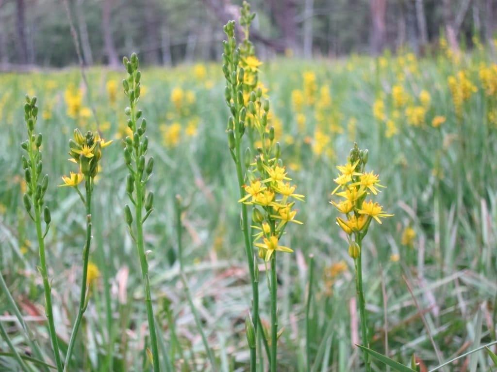 Im Möhrer Moor finden sich mehrere Bestände der Moorlilie.