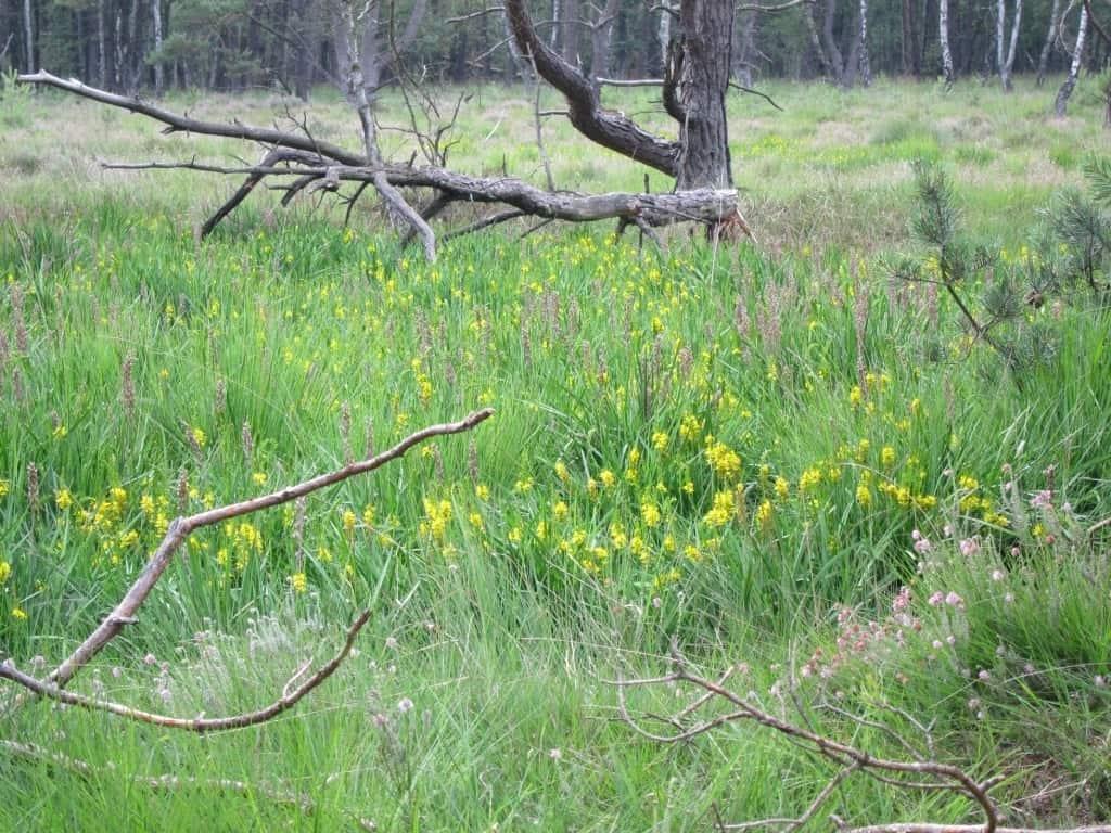 Die Moorlilie wächst gerne in Hoch- und Heidemooren sowie in Übergangsmooren und Feuchtheiden mit Glockenheide.
