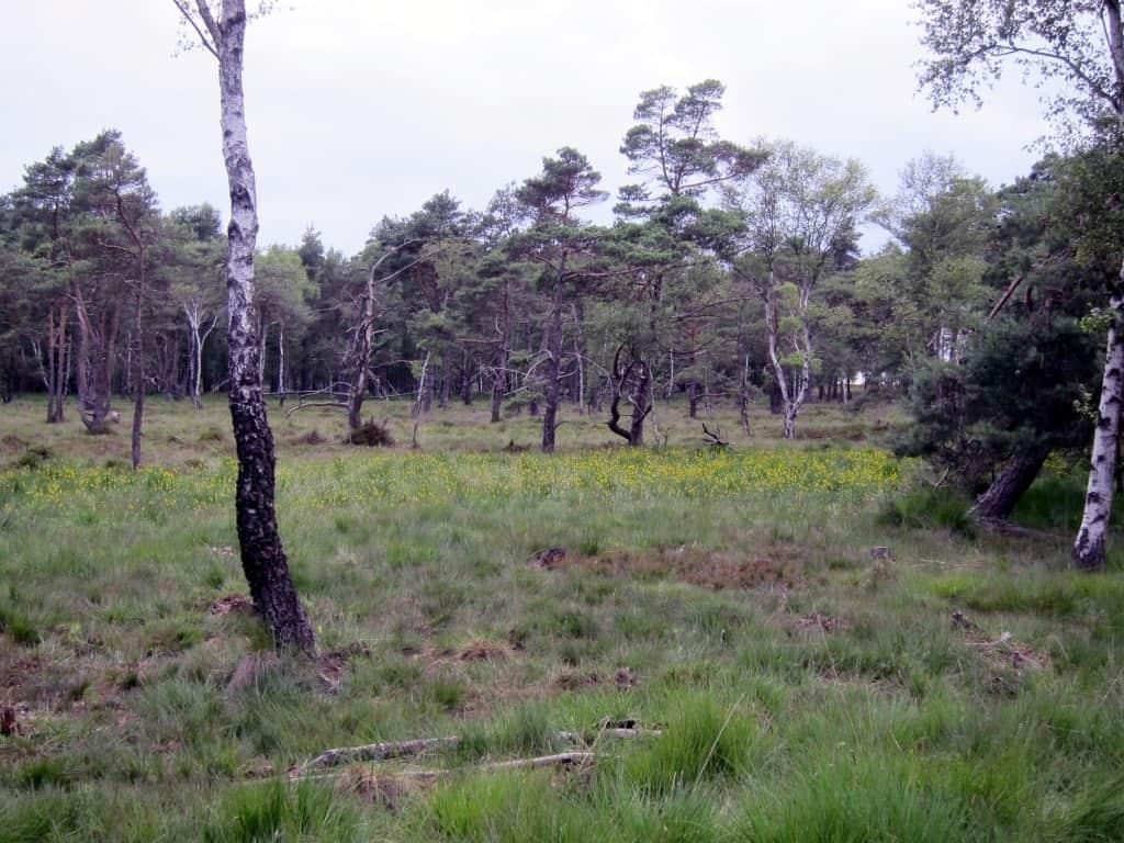 Moorlilienblüte im Möhrer Moor bei Schneverdingen