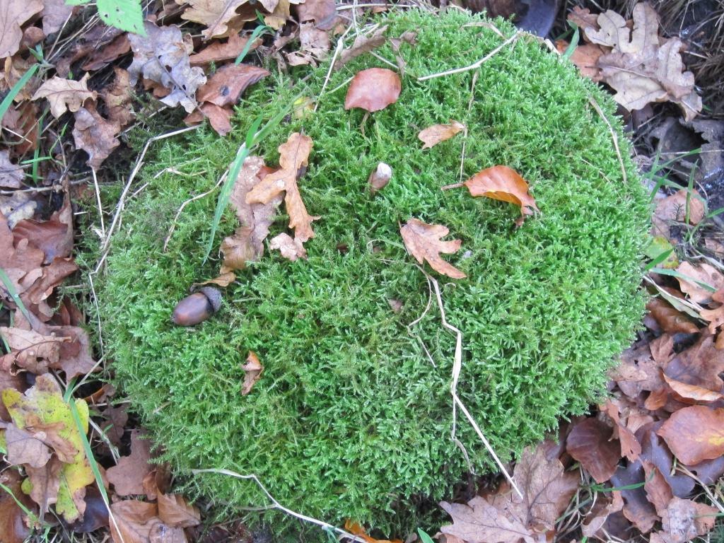 Stilleben der Natur: Moos mit Eichel und Herbstlaub