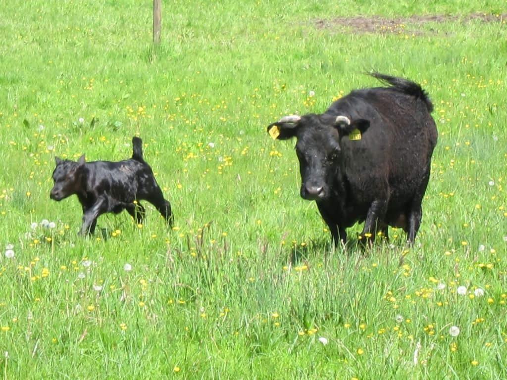 Schwarze Kuh mit Kalb auf grüner Wiese