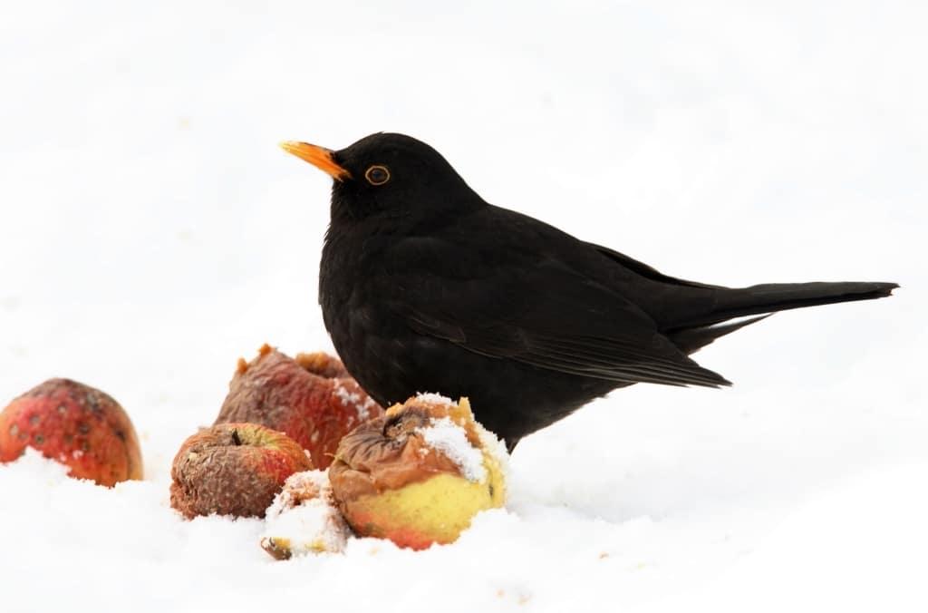 Amsel frisst Äpfel im Schnee, Foto: NABU/Stunde der Wintervögel/Frank Derer