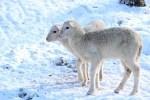 Lämmer der Bentheimer Landschafe im Schnee, Bild: FLMK