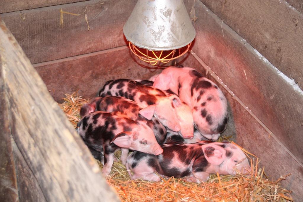 Ferkel der Bunten Bentheimer Schweine unter Rotlicht im Stall, Bild: FLMK