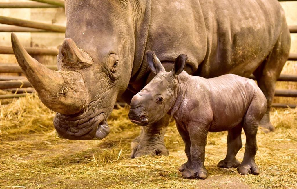 Die 12 Jahre alte Nashornmutter Uzuri hat jetzt ihr drittes Kalb geboren. Foto: Serengeti-Park Hodenhagen