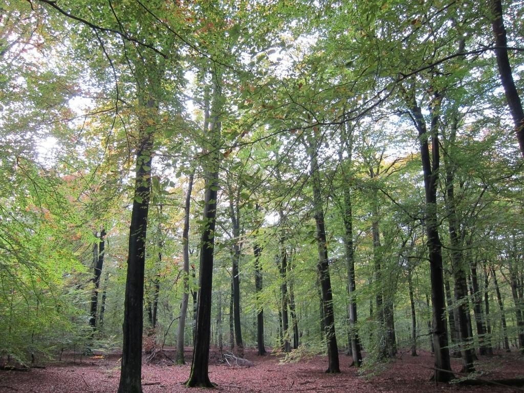 Naturwald Lüßberg mit Buchenbestand im Lüßwald Kreis Celle