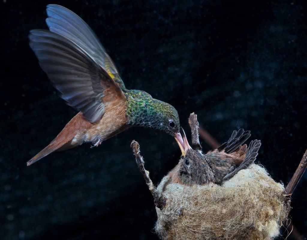 Rostbauchamazilie füttert Junges im Nest. Foto: Weltvogepark Walsrode