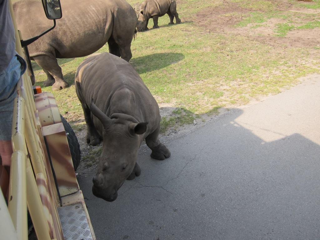Keine Scheu: Neugierig beschnuppert das Nashornjunge den Safaribus. Foto: Anne Bremer
