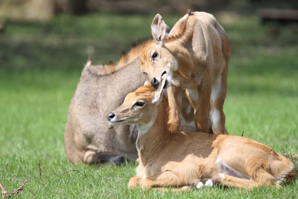 Nilgauantilopen, Foto: Serengeti-Park Hodenhagen 2016