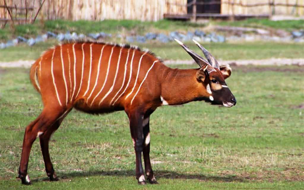 Ostafrikanischer Bongo Foto: Serengeti-Park Hodenhagen 2016