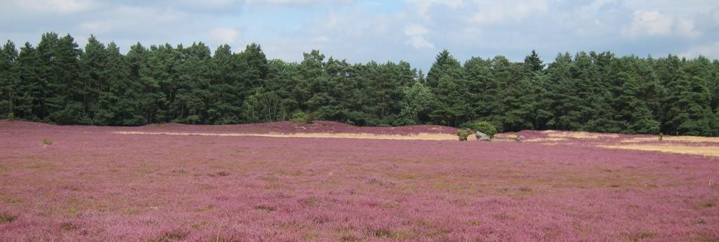 Hügelgräber in der blühenden Klein Bünstorfer Heide, Bad Bevensen