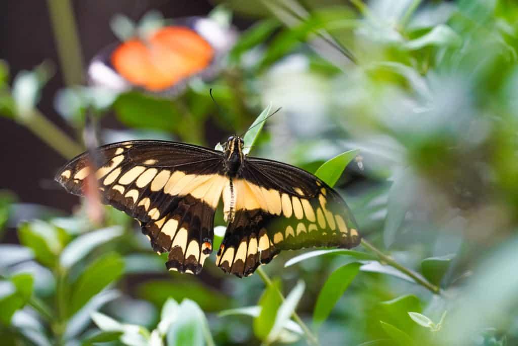Königs-Schwalbenschwanz (Papilio Thoas) Foto: Weltvogelpark Walsrode