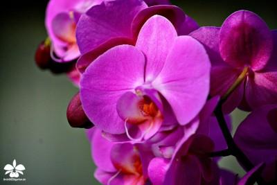 Pinkfarbene Phalaenopsis-Orchidee von Orchideengarten Karge