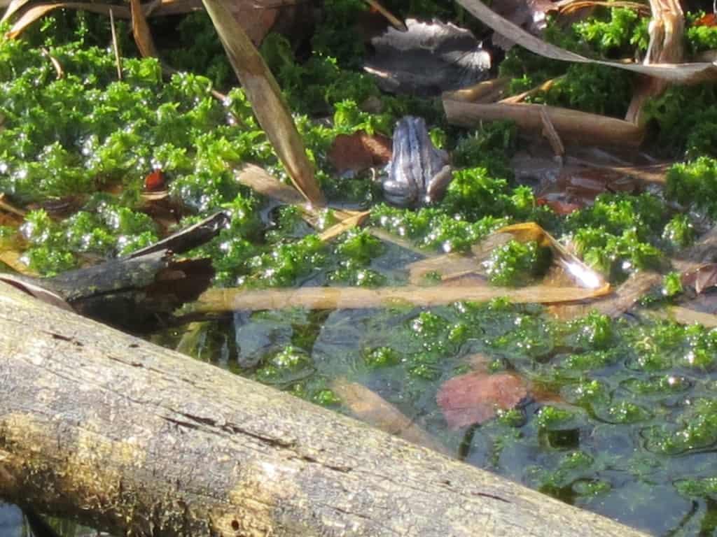 Moorfrosch (Rana arvalis) im Pietzmoor in der Lüneuburger Heide