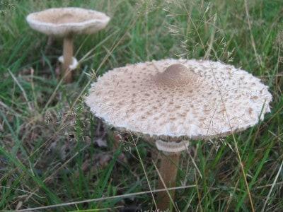 Zwei Pilze im hohen Gras am Wegrand