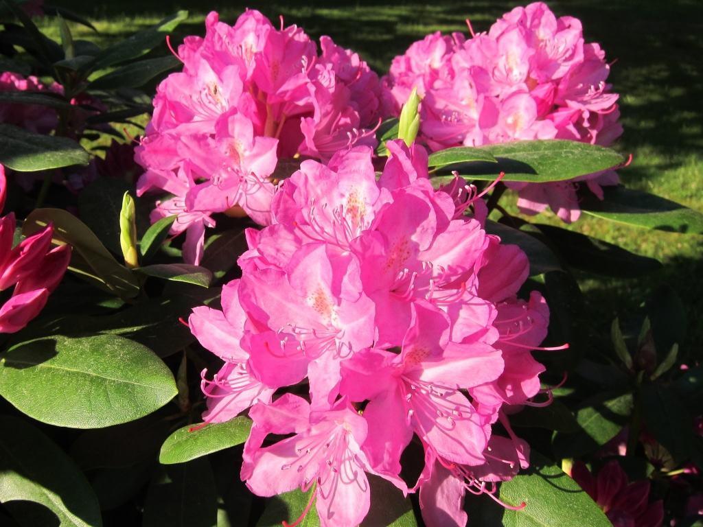 Pinkfarbene Rhododendronblüten