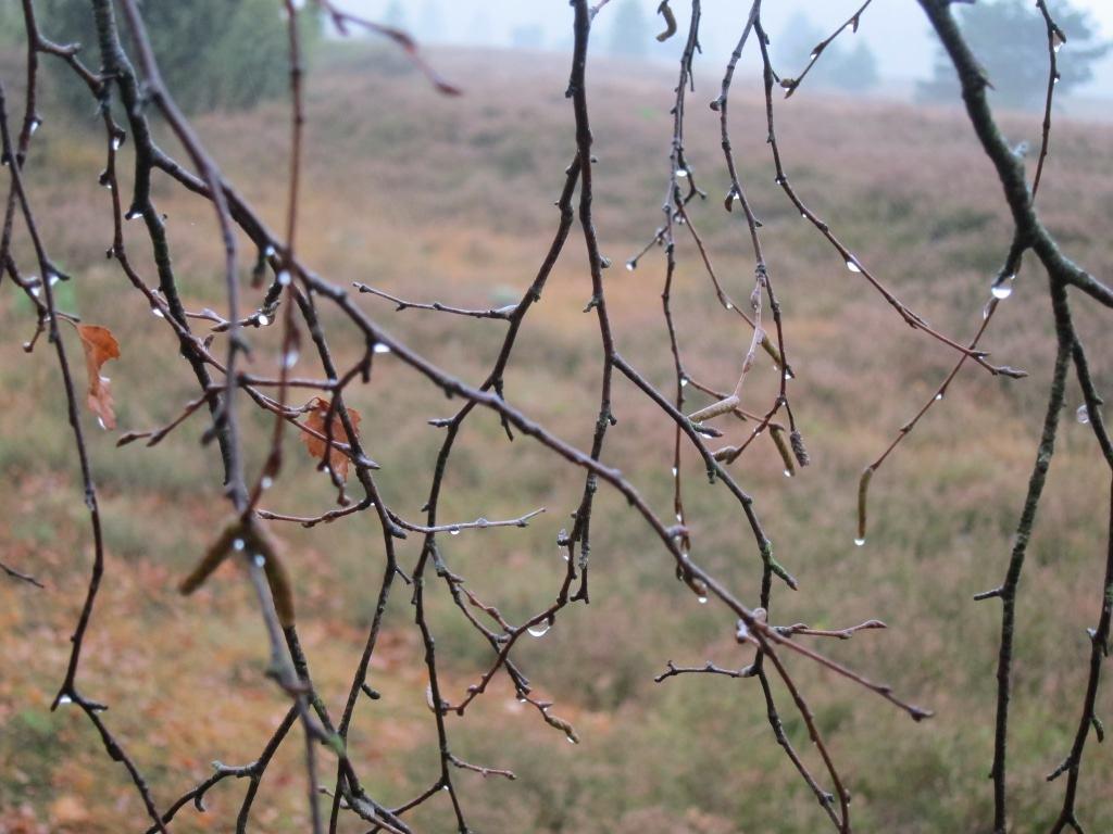 Wie Glasperlen leuchten die Regentropfen auf den Birkenzweigen