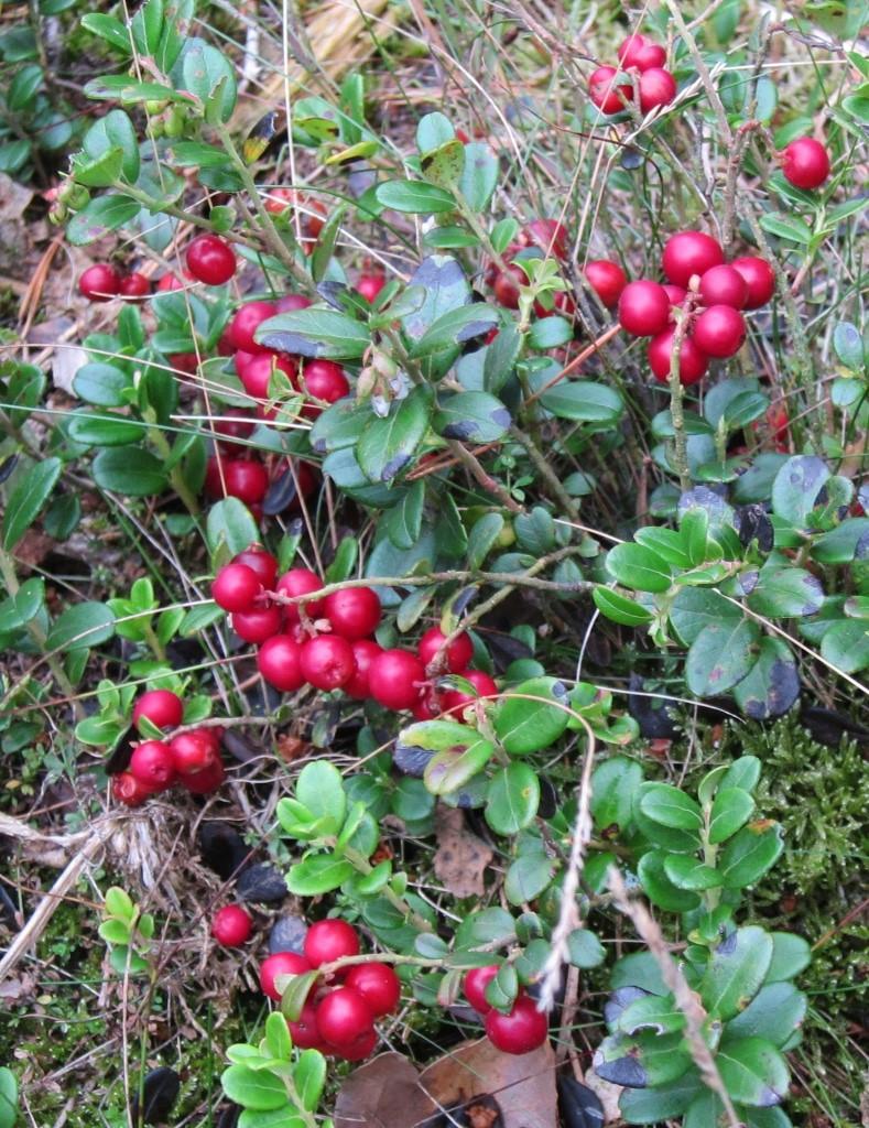 Reife Preiselbeeren (Kronsbeeren) leuchten rot am Wegesrand in der Misselhorner Heide.