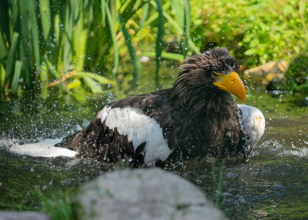 Abkühlung im Wasser für den Riesenseeadler. Foto: Weltvogelpark Walsrode