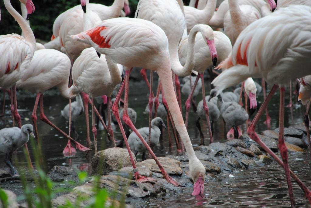Bei den Flamingos leben die Küken in richtiggehenden Kindergärten und werden von den erwachsenen Tieren vor Feinden geschützt. Foto: Weltvogelpark Walsrode