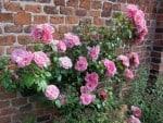 Rosa blühende Rosen vor Ziegelsteinmauer
