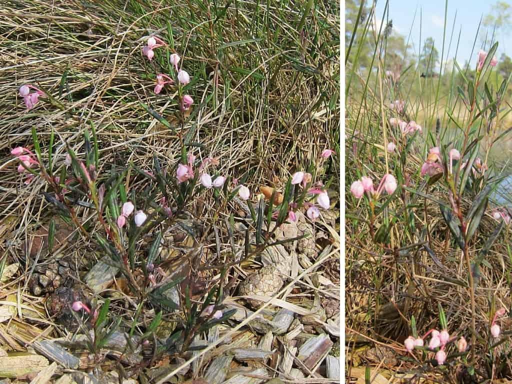 Blühende Rosmarinheide (Andromeda polifolia) im Tister Bauernmoor
