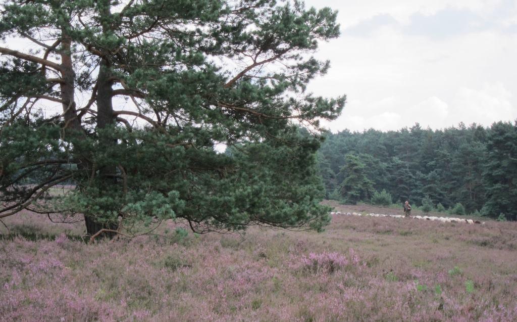 Der Schäfer zieht mit der Schnuckenherde durch die Misselhorner Heide.