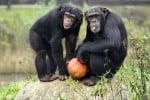 Serengeti-Park: Halloween-Kürbisse als Herbstsnack für Affen und Elefanten