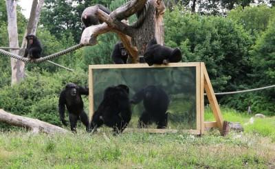 Die Schimpansen reagieren interessiert auf die Spiegel. Foto: Serengeti-Park Hodenhagen 2015