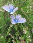 Blaue Schmetterlinge auf Heidekraut