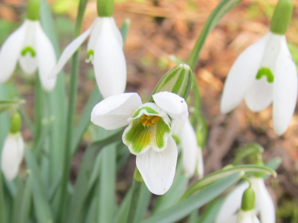 Geöffnete Schneeglöckchenblüte (Galanthus nivalis)
