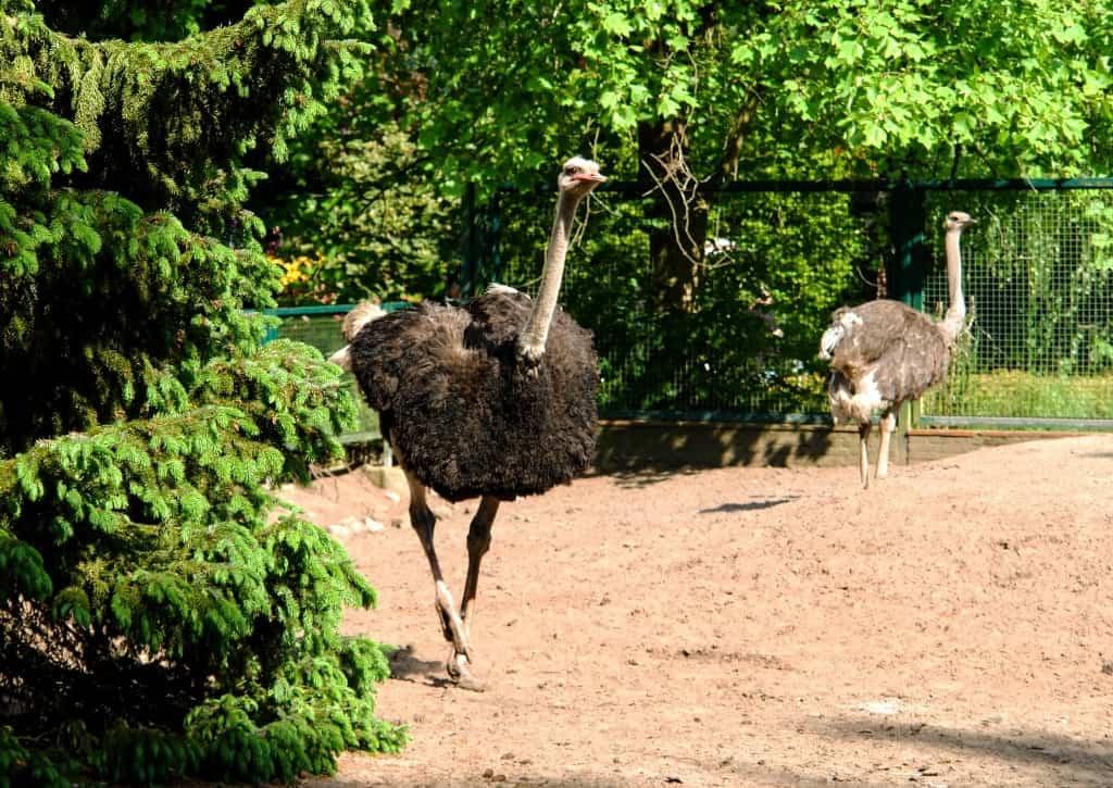 Der Strauß hält zwei Rekorde: Er läuft schneller als alle anderen Vögel und legt die größten Eier. Foto: Weltvogelpark Walsrode
