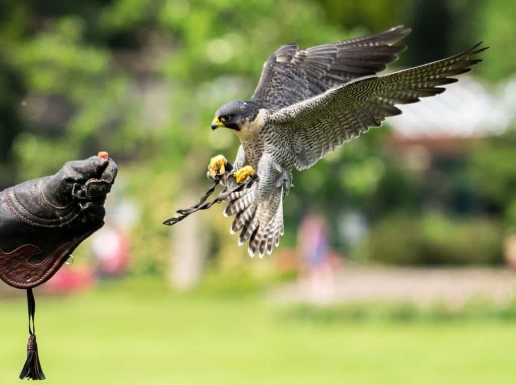 Im Sturzflug schneller als viele Sportwagen: Der Wanderfalke. Foto: Weltvogelpark Walsrode