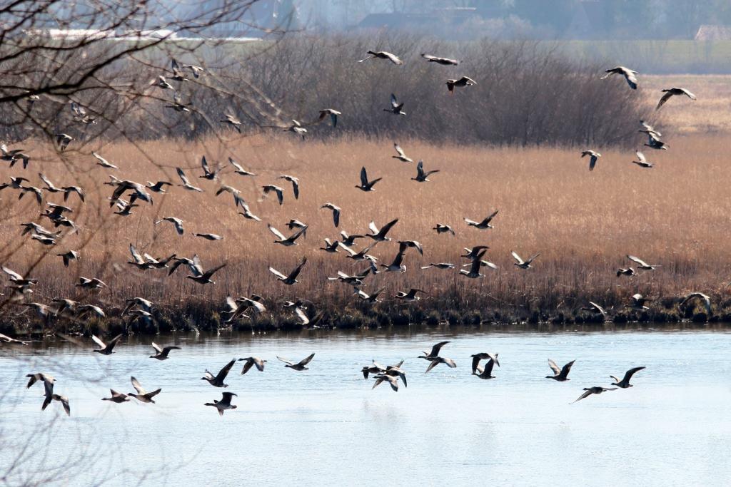 Sie fliegen ein - Gastvögel über der Elbe © Biosphaerium