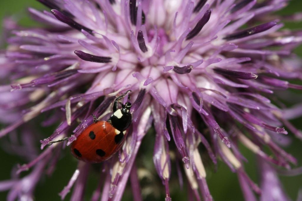 Siebenpunktmarienkäfer auf Flockenblume Foto: NABU/Helge May