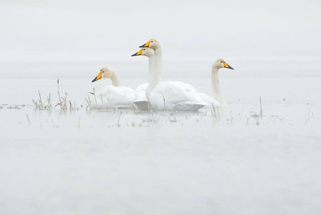 Singschwäne auf dem Wasser, Foto: Dieter Damschen