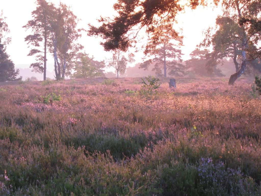 Lüneburger Heide - Schwindebecker Heide - Heideblüte 2014