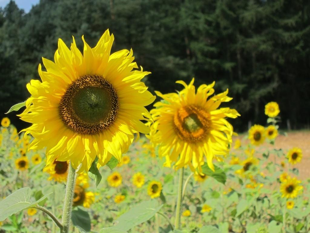 Blühende Sonnenblumen auf einem Acker