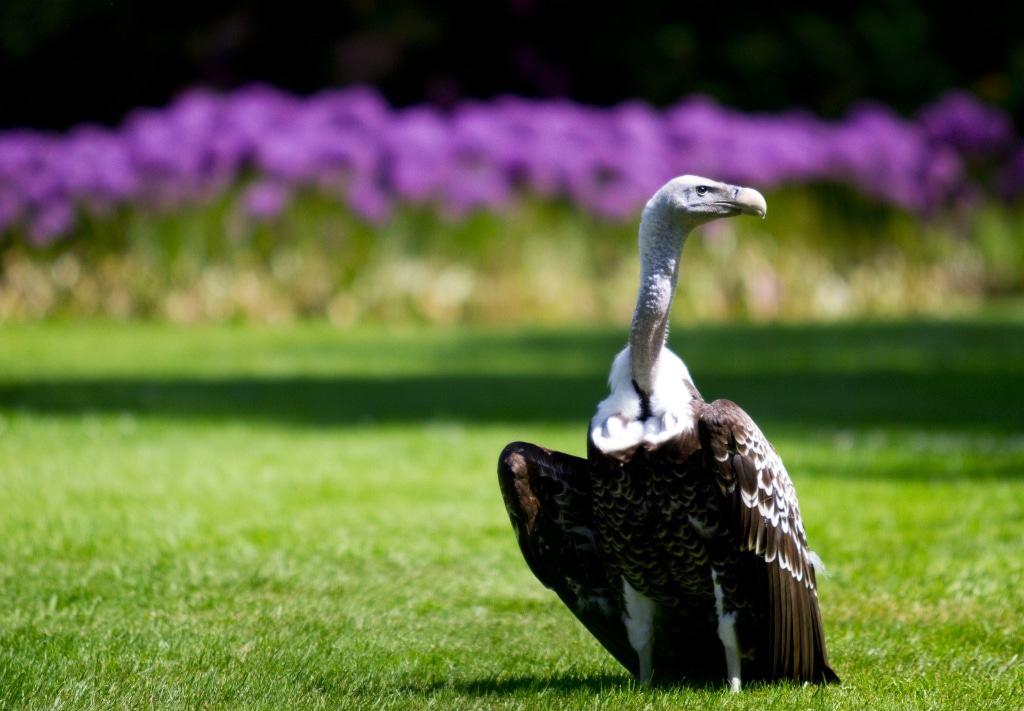Sperbergeier Foto: Weltvogelpark Walsrode