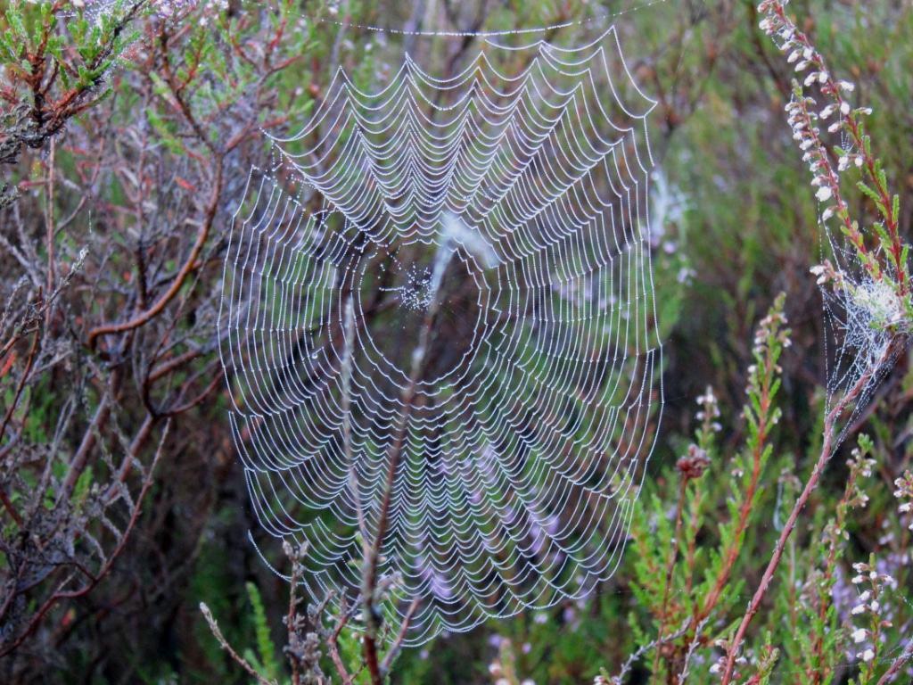 Spinnennetz mit Tautropfen am Morgen in der Heide