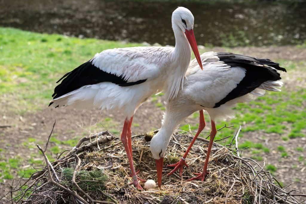 Storchennest mit Storchenpaar und Ei, Foto: Weltvogelpark Walsrode